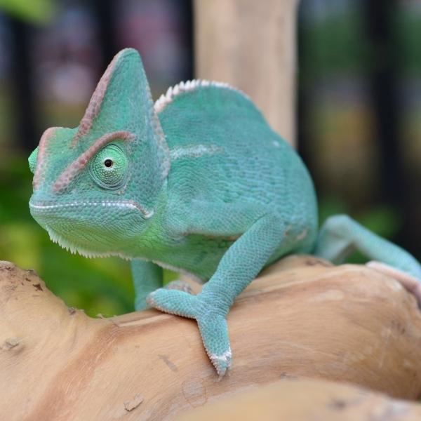 chameleon01-600x600