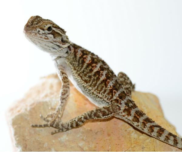 bearded dragon01-600x503